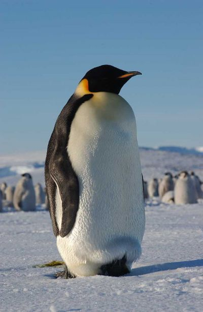 Emperor Penguin, Atka Bay, Weddell Sea, Antarctica