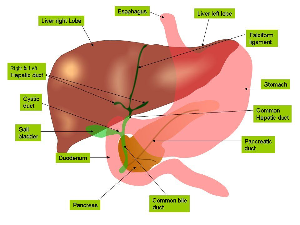 Eu Research To Deliver New Generation Of Liver Replacements